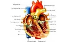 Các nguyên liệu dùng để chế tạo vật liệu sinh học trong hệ tim mạch.