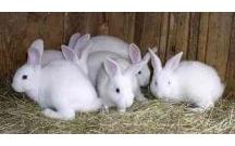 Xác định tỷ lệ tiêu hóa dưỡng chất các khẩu phần và một số loại thức ăn cho thỏ, từ đó tìm tỷ lệ phối hợp khẩu phầ