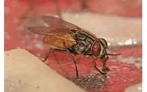 Sản xuất được chế phẩm diệt ruồi hiệu quả mà không gây độc đối với con ngƣời và thân thiện với môi trường