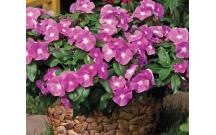 Xác định môi trường thích hợp để cây Dừa cạn và Dã yên thảo ra hoa trong ống nghiệm.